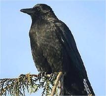 samenleven met dieren deel1, kraaiachtigen in de tuin, tuinvogels, dieren in de tuin, kraaien voederen, kauwen herkennen