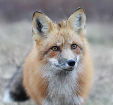 Vriend van de vos - samenleven met dieren
