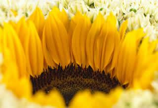 Augustus: maand van de zonnebloem