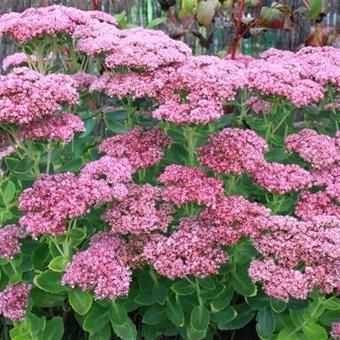 bloeiende planten, planten, oktober, planten in oktober,vlinderstruik buddleja davidii,salie,salvia,altheastruik sedum, hemelsleutel,rozemarijn, rosmarinus officinalis,pelargonium, geranium,