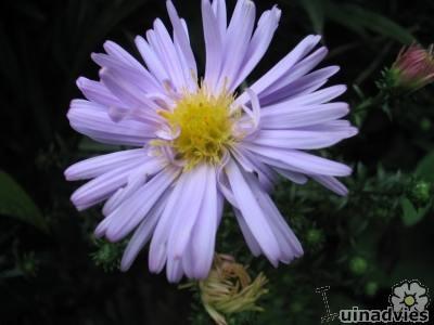 bloeiende planten, planten, november, planten in november,viburnum tinus,aster dumosus,sedum spectabile,rosa,calluna vulgaris, viburnum