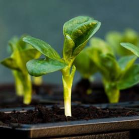 De vroegste groente, vroege groenten kweken, groenten zaaien in februari, soorten groenten om vroeg te telen, vroege zaden van groenten