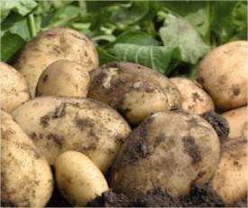 Hoe aardappelen telen - soorten meststof en teelttips voor aardappelen