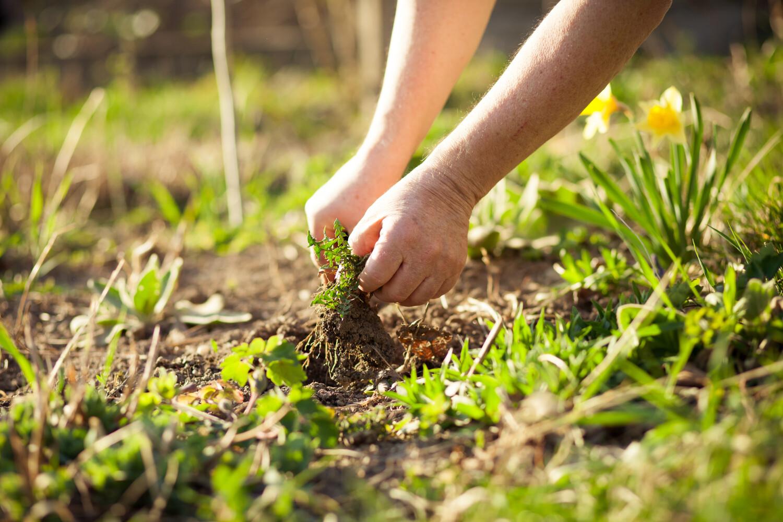 gazon bemesten, zomerbloeiers snoeien, aluminiumsulfaat bij hortensia's, ... Tuinklussen in maart