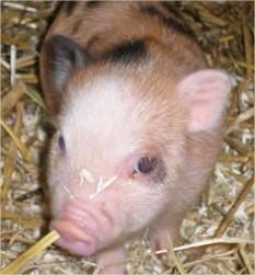 Het Gottinger minivarken, vi�tnamise hangbuikvarken, varken in de tuin, minivarkens kweken in de tuin.