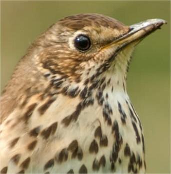 de zanglijster�of Turdus philomelos, vogel lijster, zang van lijster, video van lijsters
