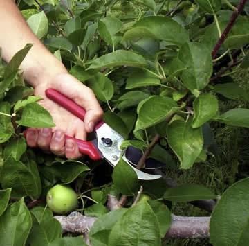 zomersnoei van pitfruit, steenvrichten snoeien in de zomer, appelaar snoeien in zomer, kersenboom snoeien in juli, wanneer kersen snoeien, wanneer fruitbomen snoeien