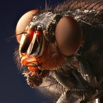 steken huisvliegen of stalvliegen - Stomoxys calcitrans en Musca domestica