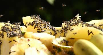 Fruitvlieg of bananenvlieg, Drosophila melanogaster, fruitvliegenval, fruitvliegenplaag, plaag van fruitvliegjes, fruitafval fruitvliegen