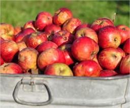wanneer appels plukken, wanneer peren plukken, hoe appels plukken, hoe peren plukken, bewaartijd appels, bewaartijd peren, oogstkalender fruit, plukkalender appelen en peren, soorten appels plukken, soorten peren bewaren