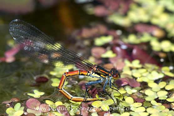 waterpartijen, waterdieren in de tuin, insecten bij waterpartijen in de tuin