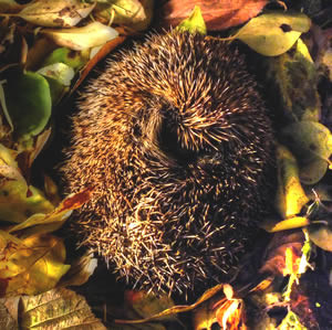 Winterslapers, winterslaap dieren, welke dieren houden winterslaap, winterslaap voeding, eten winterslaap, lichaamstemperatuur winterslaap dieren