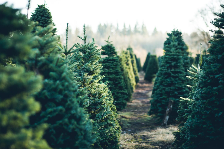 kerstboom overhouden, onderhoud kerstboom, verzorging van kerstboom, kerstboom uitplanten na nieuwjaar, kerstboom hergebruiken