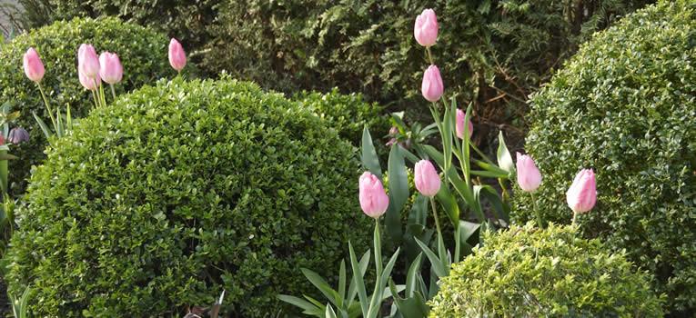 buxusvormen, buxus plant van de maand april, vormen van buxus, buxus onderhouden, buxus snoeien, buxusziekten bestrijden, soorten buxus herkennen