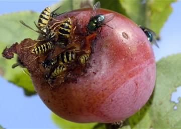 Een wespensteek behandelen en voorkomen