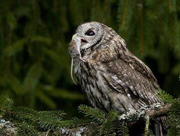 Wie schreeuwt daar in het bos: Strix aluco
