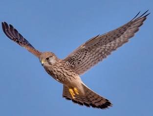 Roofvogel in de kijker: de torenvalk
