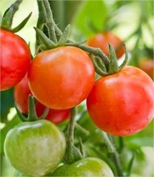 zelf tomaten kweken, tips om zelf tomaten te telen, zelfgeweekte tomaten, tomatenmeststof, tomaten planten