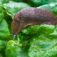 nematoden gebruiken, hoe nematoden inzetten tegen slakken, slakken op natuurlijke manier verwijderen, slakkenvrije tuin, slakken weren uit de tuin, moestuin met slakken