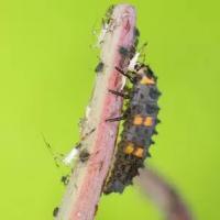 Hoe bladluizen op een natuurlijke wijze bestrijden?