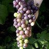 Blauwe druiven: Vitis Boskoop Glory