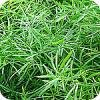 Sierasperge - asparagus is een groen rustpunt dat past in elk interieur