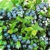 Verschillende soorten planten met opvallend mooie blauwe bessen sieren de tuinen