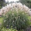 Een grote keuze aan siergrassen en bamboe voor in de tuin