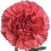 Dianthus fennec: een veelbelovende nieuwe anjer