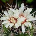 Cactus: Gymnocalycium