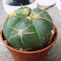 Cactussen verpotten