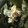 Flickingeria orchidee