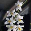 Orchidee: verzorging van de Odontoglossum