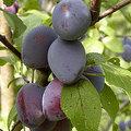 Fruit voor uw tuin