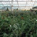 Kerstboom: tips bij aanschaf