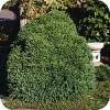 Coniferen die geschikt zijn om in bolvorm te kweken