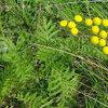 Kruiden voor het weren van insecten en nuttige kruiden voor uw dieren