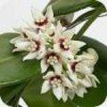 Hoya calycina 'Stargazer'