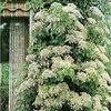 Klimplanten, leiplanten en slingerplanten zorgen voor bloeiende muren.