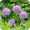Alliums of sieruien zijn er in honderden formaten en kleuren
