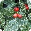 Aucuba of broodboom is een wintergroene sierheester die goed tegen pollutie kan
