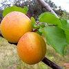 Fruit voor warme plaatsen: perziken, abrikozen, amandelen en vijgen