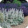 Grijsbladige planten zorgen voor rust en sfeer in de tuin