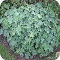 Alchemilla mollis - vrouwenmantel