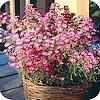 Nazomerbloeiers geven nog lang kleur aan het balkon of terras