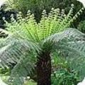 Dicksonia boomvaren