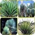 Yucca's kunnen ook buiten