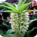 Eucomis: kuiflelie, ananasplant