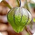 tomatillo - Physalis ixocarpa