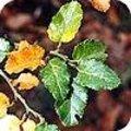 Nothofagus of de schijnbeuk en zijn soorten: antarctica, nervosa, obliqua, betuloides